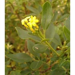 Jasmin fleur en vrac - sachet de 100gr pour tisane