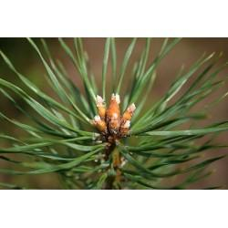 Pin Sylvestre bourgeon en vrac - sachet de 100gr pour tisane