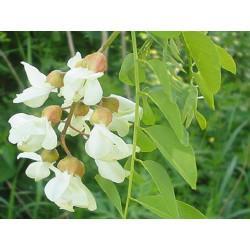 Acacia fleur en vrac - sachet de 100gr pour tisane