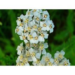 Achillée Millefeuille fleur en vrac- sachet de 200gr pour tisane