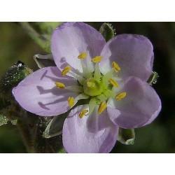 Arenaria rubra (Sabline) - Partie aérienne en vrac - Sachet de 200g pour tisane