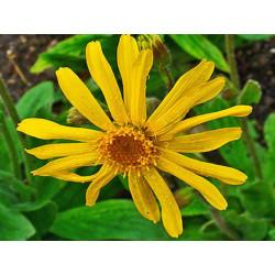 Arnica capitule floral en vrac - sachet de 100gr pour tisane