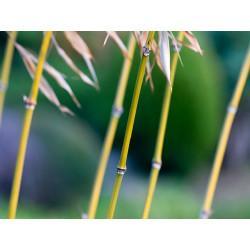 Bambou type Tabashir poudre en vrac - sachet de 100gr