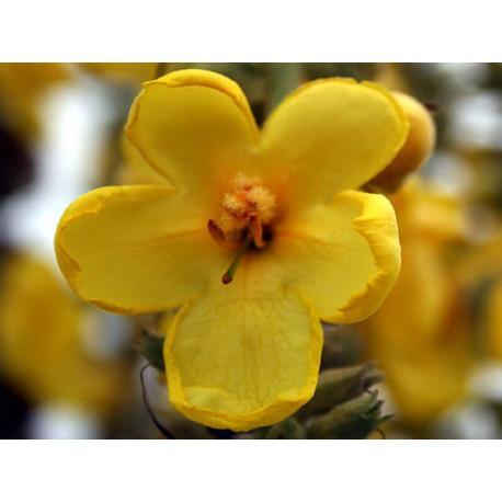 Bouillon Blanc fleur en vrac - sachet de 100gr pour tisane