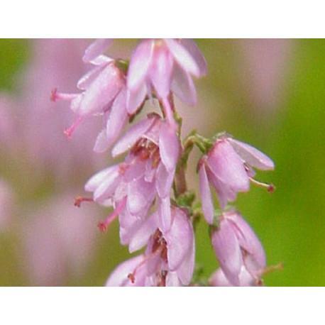 Bruyère fleur en vrac-sachet de 100g pour tisane