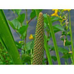 Calamus ( Acore Odorant) rhizome naturel en vrac - sachet de 100gr pour tisane