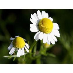 Camomille Romaine capitule floral trié en vrac - sachet de 50gr pour tisane
