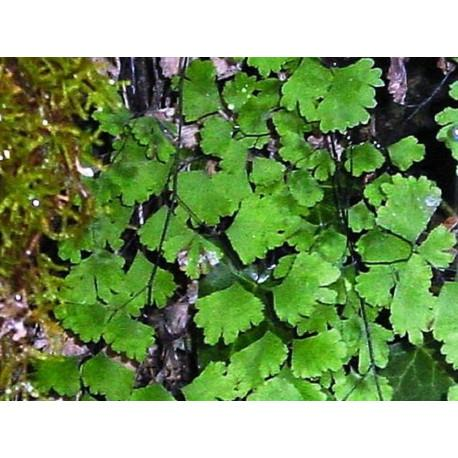 Capillaire Vert fronde en vrac - sachet de 100gr pour tisane