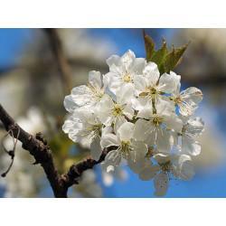 Cerisier pédoncule fructifère rouge coupé menu en vrac - sachet de 200gr pour tisane