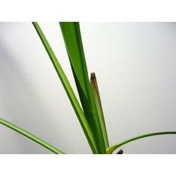 Lemon Grass (Citronnelle) partie aérienne en vrac - sachet de 100gr pour tisane
