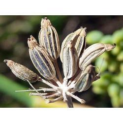 Fenouil Doux Provence fruit trié en vrac - sachet de 200gr pour tisane