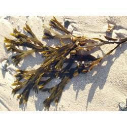 Fucus Vesiculosus ( Varech) en vrac - sachet de 300gr pour tisane