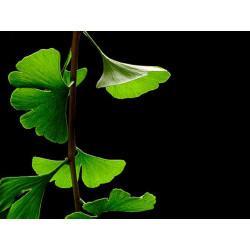 Ginkgo biloba feuille en vrac- sachet de 200g pour tisane