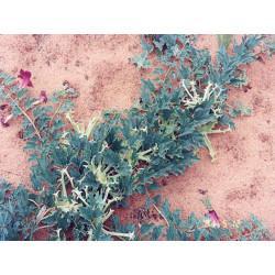 Harpagophytum racine coupée menu en vrac- sachet de 100g pour tisane