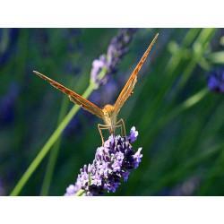 Lavandin fleur super en vrac - sachet de 100gr pour tisane