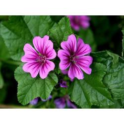 Mauve fleur en vrac - sachet de 50gr