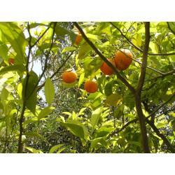 Orange Amère écorce quart vert en vrac - sachet de 200gr pour tisane