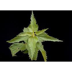 Ortie Piquante feuille en vrac - sachet de 100gr pour tisane