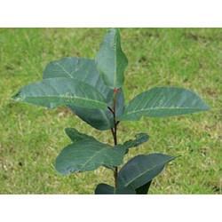 Pygeum Africanum écorce en vrac - sachet de 50gr pour tisane