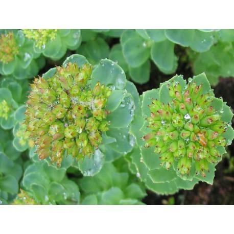 Rhodiola Rosea racine en vrac- sachet de 100gr pour tisane