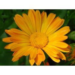 Souci fleur en vrac- sachet de 100 g pour tisane