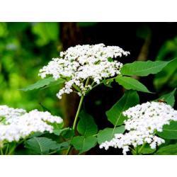 Sureau Noir fleur mondée en vrac - sachet de 100gr pour tisane