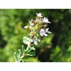 Thym de Provence feuille coupée en vrac - sachet de 100gr pour tisane